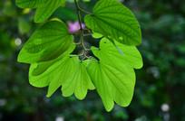 绿叶叶子图片