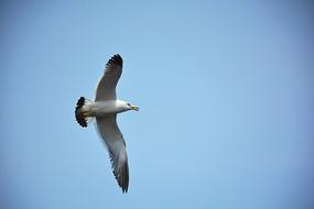 蔚蓝天空自由飞翔的海鸥