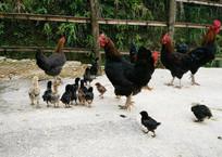 一群小鸡在门口