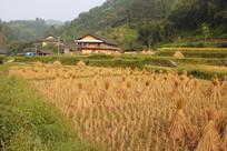 已收割完的稻谷