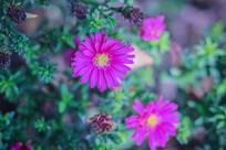 紫色小菊花