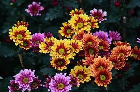 一片灿烂的菊花