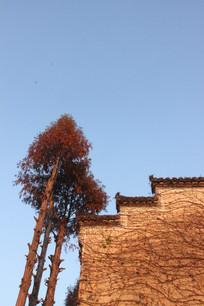 安徽西递宏村布满爬山虎的墙