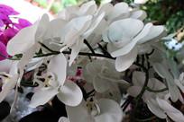 白色的蝴蝶兰花朵