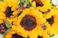 含苞怒放的太阳花
