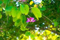 藏在叶子后面的紫荆花
