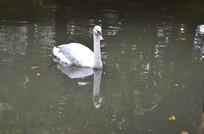 池塘里的白天鹅