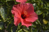 大红花近拍