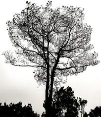 农村的一棵树