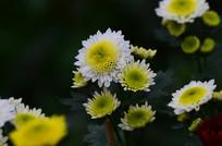 黑色背景美丽的菊花