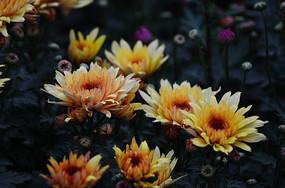 灿烂的金菊