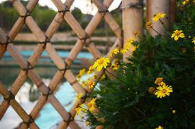 唯美的小菊花和竹栅栏