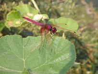 傍晚叶子上的蜻蜓