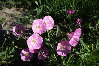 大兴安岭野生植物-田旋花