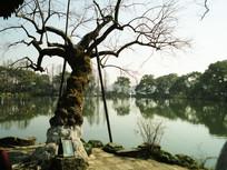古典西湖古树风景