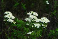 野生植物-土庄绣线菊