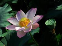 荷花与莲藕