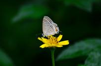 蝴蝶野菊图