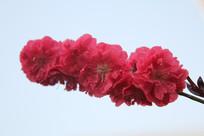 蓝天背景的桃花花朵