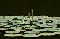 莲花池风景图片