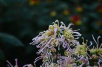 礼花菊花卉图片