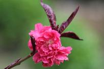 绿色背景的桃花花朵