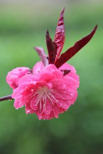 绿色背景下盛开的桃花
