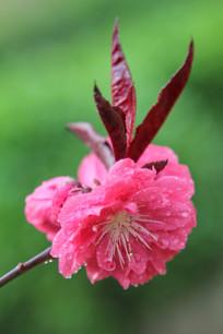 绿色背景下盛开的桃花花朵
