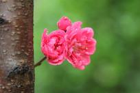 树干上的桃花花朵