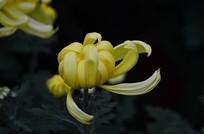 一朵美丽的菊花