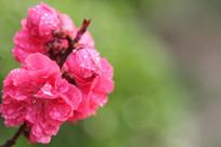 绿色背景的桃花花串