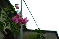 鼓浪屿的光叶子花