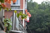 鼓浪屿的叶子花