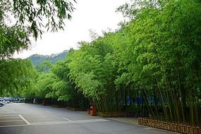 路边的竹林风景摄影图