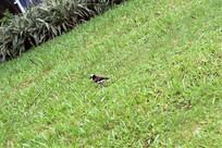 绿色草坪上的小鸟图片