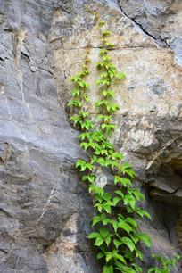 石头墙上的绿色爬山虎