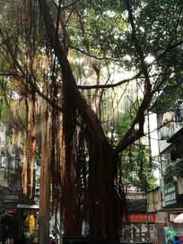 阳光下的大榕树