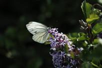 白色蝴蝶落在丁香花上