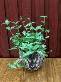 小盆栽白脉椒草