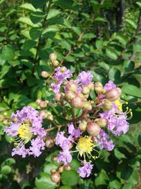 阳光下的紫薇花
