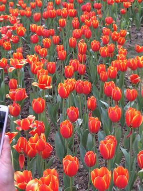 橙色郁金香花