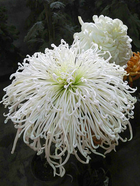 大朵白色菊花特写