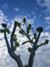 蓝天大树剪影