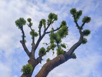 老树吐新芽