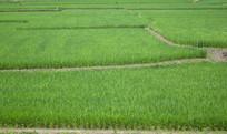 绿油油的稻田图片素材