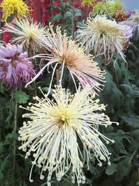 色彩缤纷的菊花