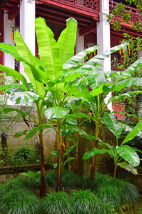 生机勃勃的芭蕉树