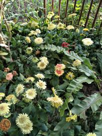 五颜六色的菊花