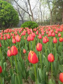 鲜艳的郁金香花坛