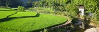 小河环绕的绿色稻田